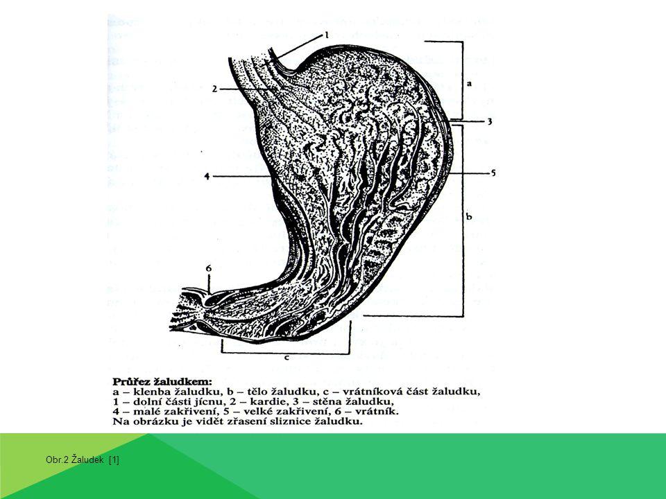 Obr.2 Žaludek [1]